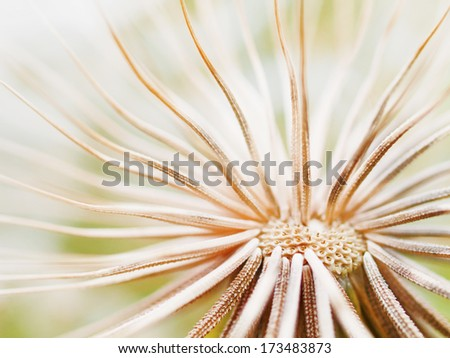 Abstract dandelion close up /  shallow depth of field / - stock photo