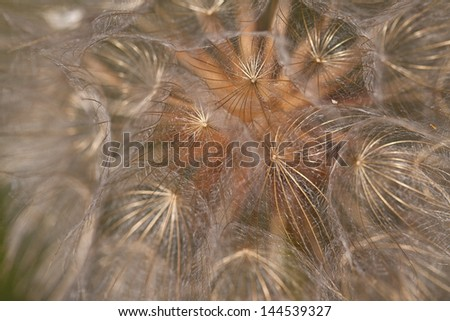Abstract dandelion flower background, extreme closeup. Big dandelion on natural background - stock photo