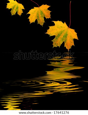 Abstract design of three maple leaves in golden colors of Autumn with reflection over rippled water, over black background. - stock photo
