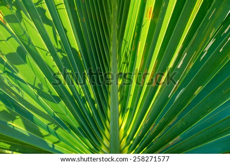 Abstract detail of a  backlit palm leaf of bismark palm tree with another plant form casting shadow. - stock photo