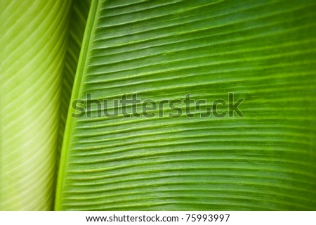 abstract detail of banana leaf - stock photo