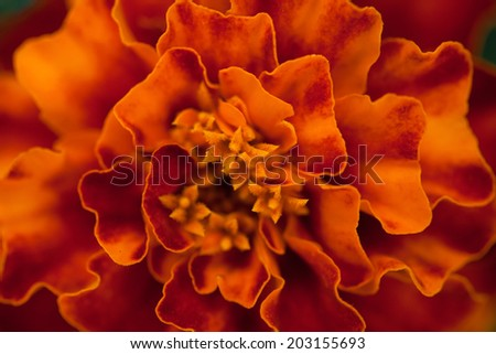 Abstract floral background. Marigold flower macro. - stock photo