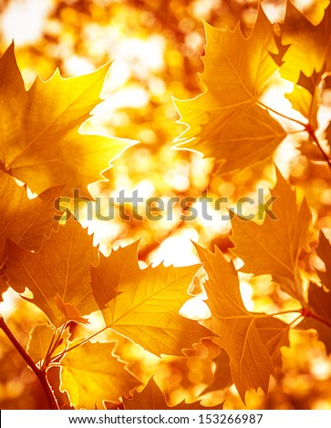 Abstract foliage background, beautiful tree branch in autumnal forest, bright warm sun light, orange dry maple leaves, autumn season  - stock photo
