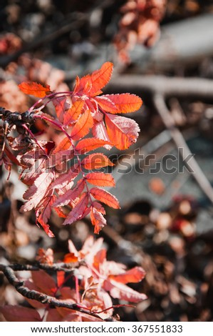 Abstract foliage image, rowan branch, autumn season, bright forest - stock photo