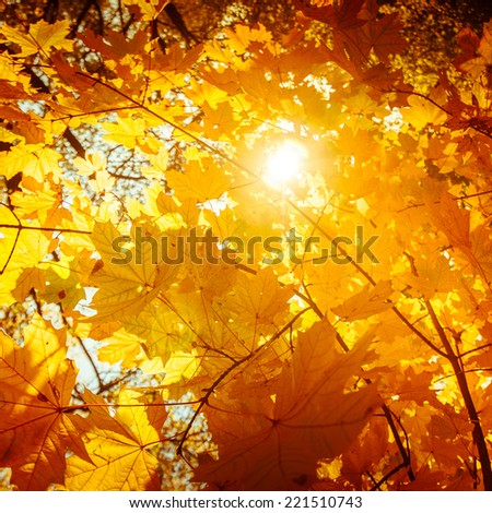 Abstract nature background with colorful maple tree leaves in autumn forest. Sunny day in outdoor park - stock photo