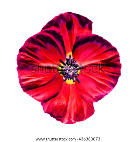 Abstract Red poppy flower isolated on white background - stock photo