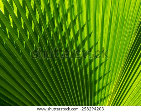 Abstract repetitive pattern of light and shadow on backlit leaf of Fiji Fan palm tree - stock photo