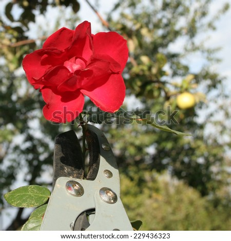 abstract scene with rose - stock photo