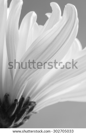 Abstract white chrysanthemum is black and white color image. - stock photo