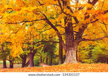 Abstract Windy, Maple Tree  in Fall at windy weather - stock photo