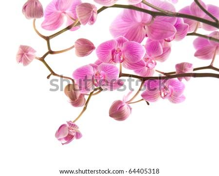 abundant flowering of pink stripy phalaenopsis orchid isolated on white; - stock photo