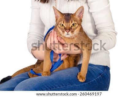 Abyssinian cat - stock photo