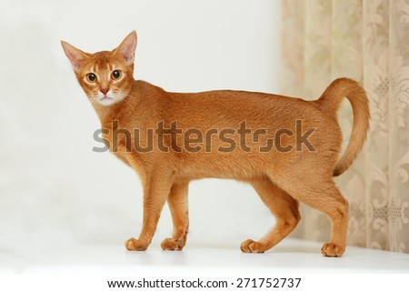 Abyssinian cat. - stock photo