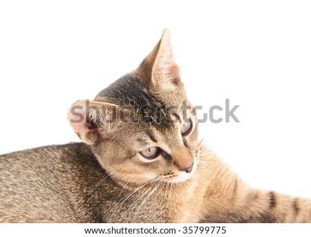 Abyssinian cat close up - stock photo