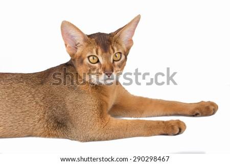 Abyssinian cat in studio - stock photo