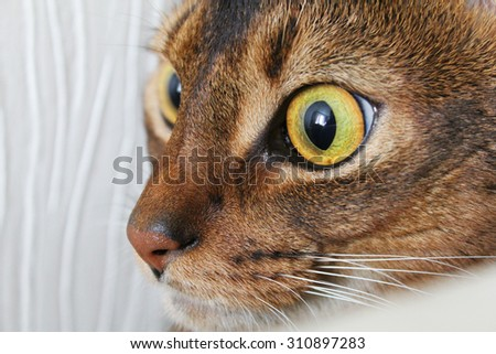 Abyssinian cat looking with interest. Closeup shot. - stock photo