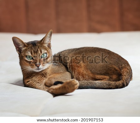 Abyssinian cat lying on a light sofa.  small depth of field (DOF) - stock photo