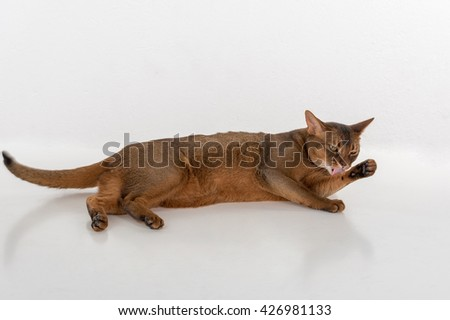 Abyssinian cat lying on ground and licking leg. White background with reflection. - stock photo