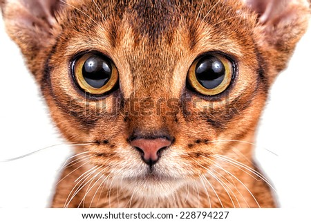 Abyssinian cat on a white background. Close-up. - stock photo