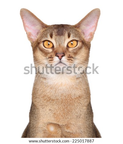 Abyssinian cat on isolated white background - stock photo