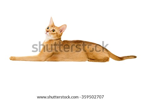 Abyssinian cat on white background.  - stock photo
