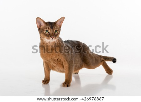 Abyssinian cat ready to attack. White background with reflection. - stock photo