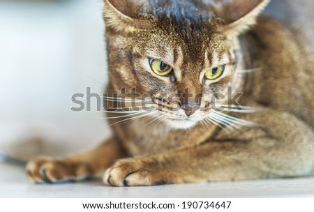 Abyssinian cat with brown a wool with watchfulness looks towards danger. - stock photo