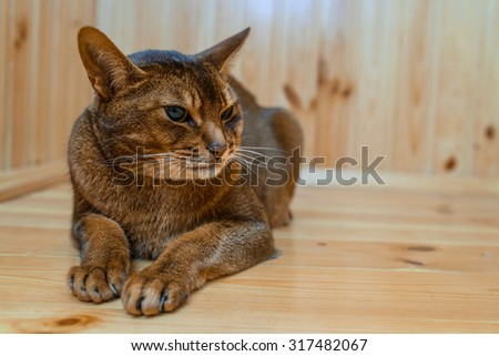 Abyssinian cat with brown wool with watchfulness looks towards danger. - stock photo