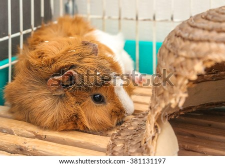 Abyssinian guinea pig - stock photo