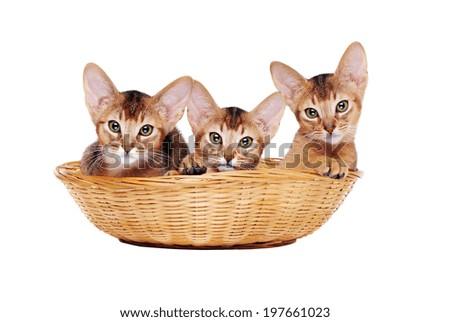 abyssinian kitties sitting in a basket - stock photo