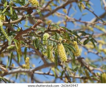 Acacia blossom, beautiful fluffy flowers - stock photo