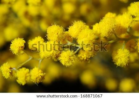 Acacia dealbata (Mimosa) in bloom - stock photo