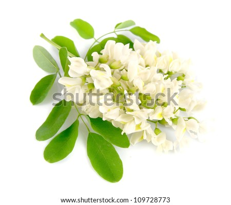 Acacia flowers with leafs on white - stock photo