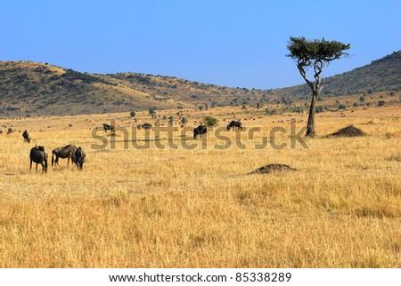 Acacia tree and wildebeest antelopes in the savannah Masai Mara, Kenya - stock photo
