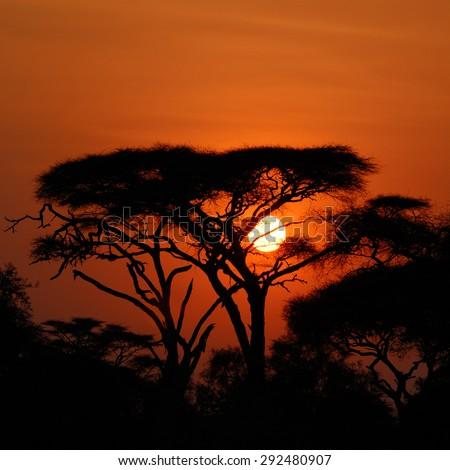 Acacia tree before sunset in Amboseli park, Kenya. Silhouette - stock photo