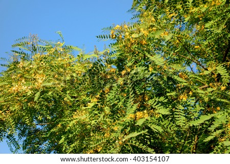 Acacia tree crown blooming with yellow flowers in late Spring time, Southern California - stock photo
