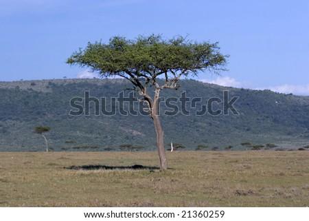 Acacia tree in Masai Mara Kenya - stock photo