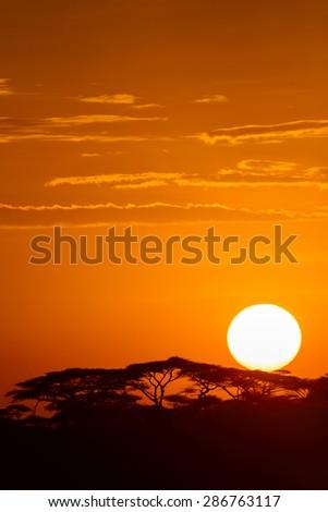 Acacia trees at the African savanna with sunrise, Serengeti national park, Tanzania. - stock photo