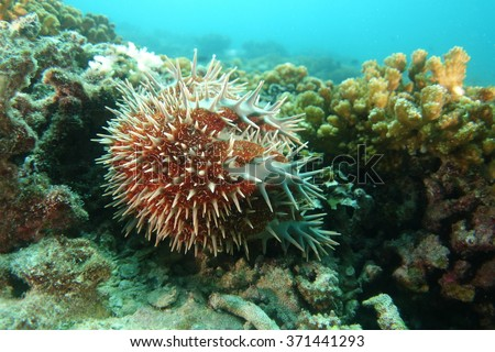 Acanthaster underwater - stock photo