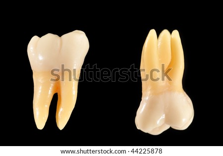 Accurate typodont teeth are shown isolated on black. These teeth are anatomically representative of typical coronal (crown) and radicular (root) structure. - stock photo