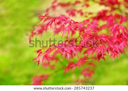 Acer palmatum growing as a little tree or a shrub plant is famous for vivid red color of leaves - stock photo