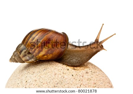 Achatina fulica. Giant African land snail. - stock photo
