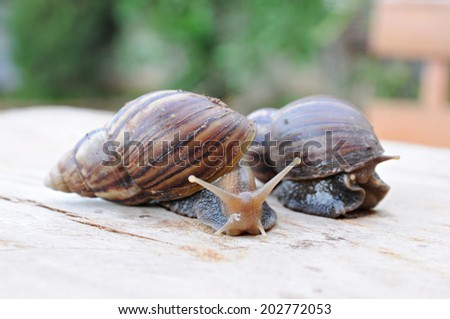 Achatina fulica, Snail walking on wooden  - stock photo