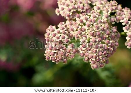 Achillea millefolium in bloom - stock photo