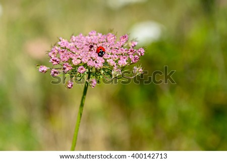 Achillea millefolium, known commonly as yarrow. Wildflower and ladybug. - stock photo