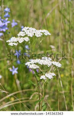 Achillea millefolium, or common yarrow, flowering plant in the family Asteraceae in the green summer field - stock photo