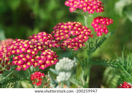 Achillea millefolium red in bloom - stock photo