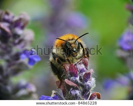 Ackerhummel (Bombus pascuorum) - stock photo