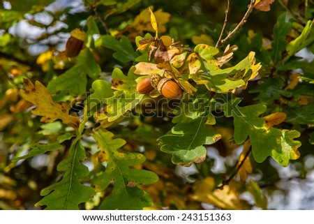 Acorn closeup with leaves and green background- Trebon,Czech Republic - stock photo