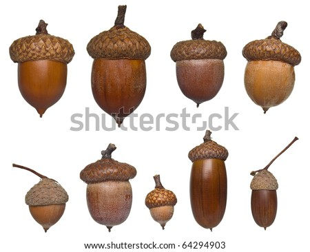 acorn different types and sizes collection isolated on white - stock photo